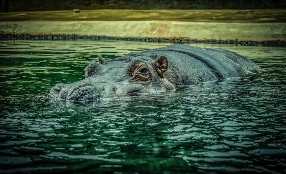 hippo-4187426_1920