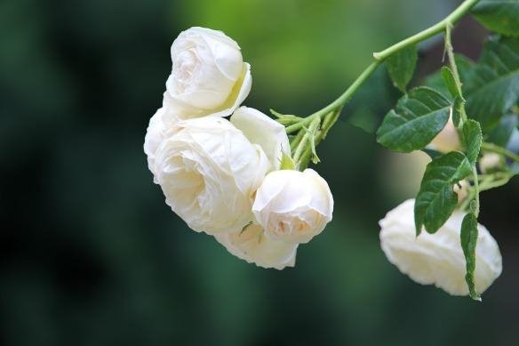 rose-4280134_1920