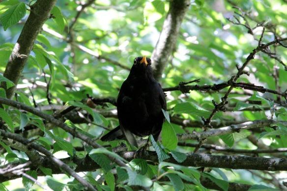 blackbird-4319843_1920