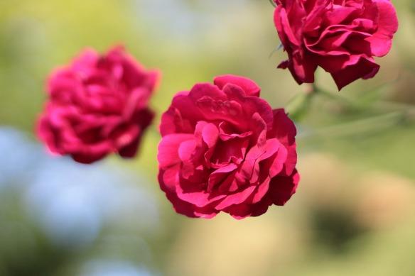 rose-4319156_1920
